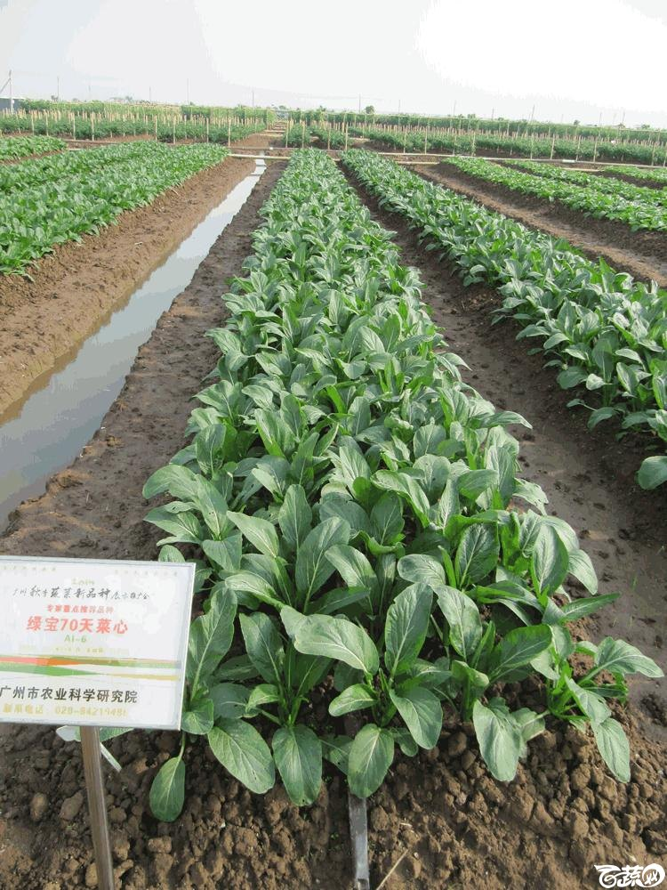 2014年12月10日广州市蔬菜新品种春季展示会田间展示菜心 008.gif