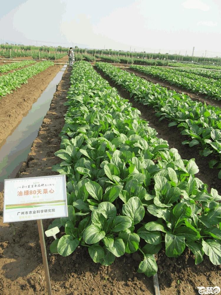 2014年12月10日广州市蔬菜新品种春季展示会田间展示菜心 012.gif