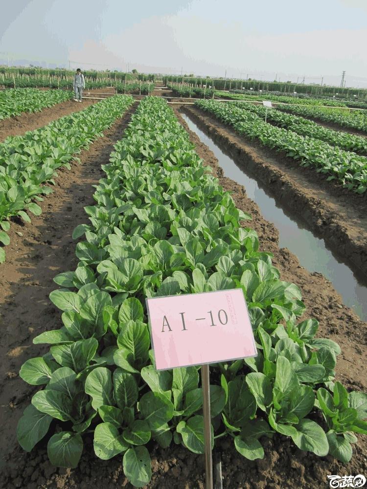 2014年12月10日广州市蔬菜新品种春季展示会田间展示菜心 014.gif