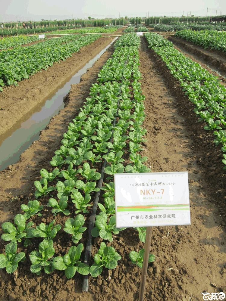 2014年12月10日广州市蔬菜新品种春季展示会田间展示菜心 019.gif