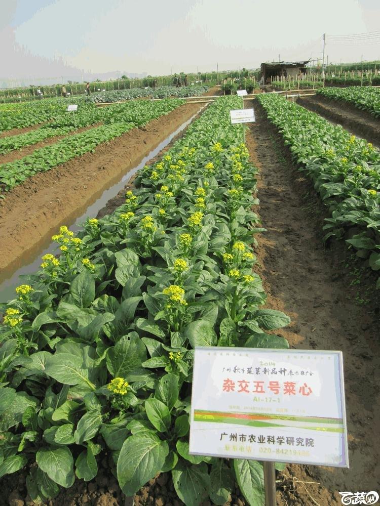 2014年12月10日广州市蔬菜新品种春季展示会田间展示菜心 022.gif
