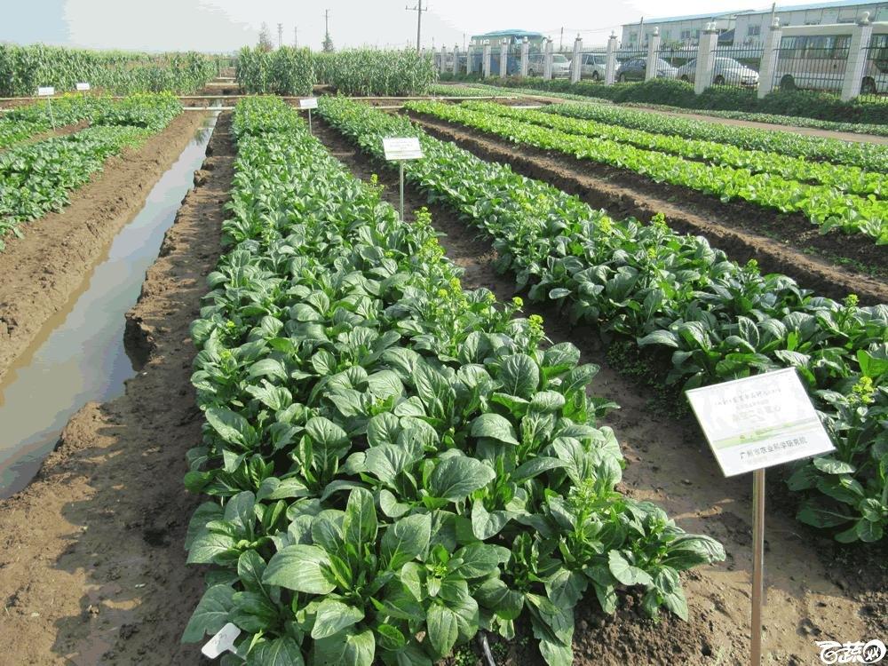 2014年12月10日广州市蔬菜新品种春季展示会田间展示菜心 027.gif