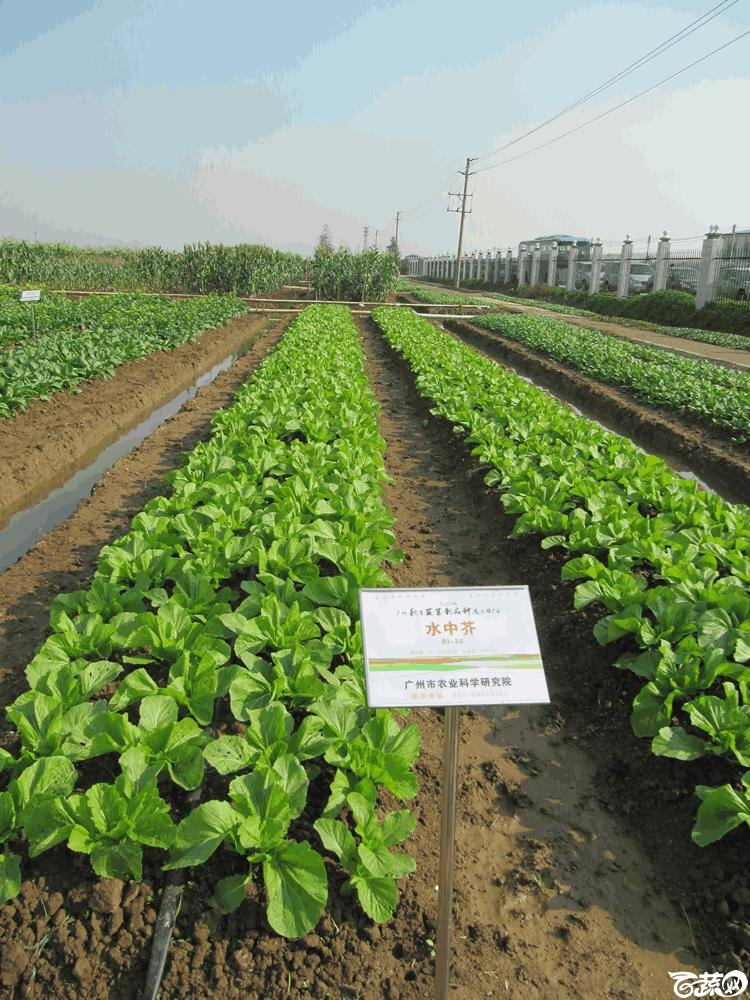 2014年12月10日广州市蔬菜新品种春季展示会田间展示菜心 029.gif