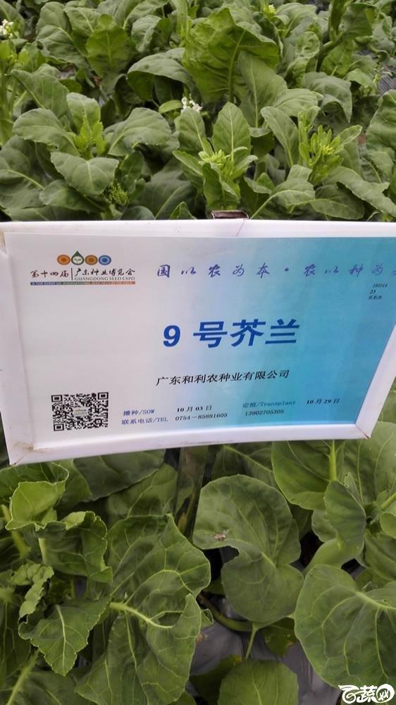 2015年双12广东种业博览会全国优良蔬菜品种田间表现-广东和利农种业9号芥兰(蓝)-001.jpg