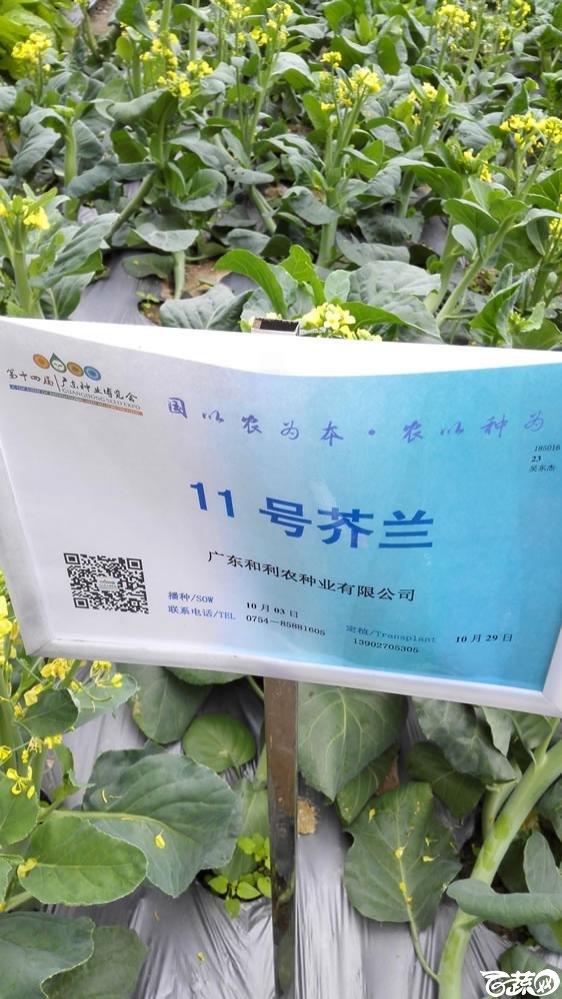 2015年双12广东种业博览会全国优良蔬菜品种田间表现-广东和利农种业11号芥兰(蓝)-001.jpg