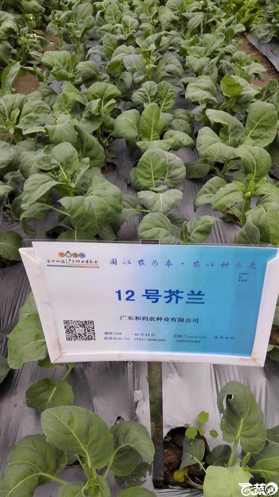 2015年双12广东种业博览会全国优良蔬菜品种田间表现-广东和利农种业12号芥兰(蓝)-001.jpg