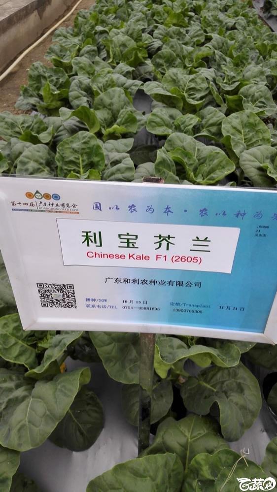 2015年双12广东种业博览会全国优良蔬菜品种田间表现-广东和利农种业利宝芥兰(蓝)-001.jpg
