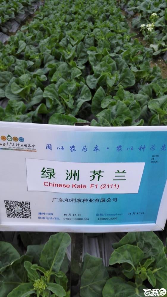 2015年双12广东种业博览会全国优良蔬菜品种田间表现-广东和利农种业绿洲芥兰(蓝)-001.jpg
