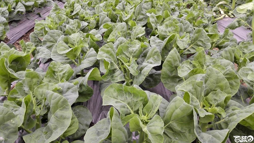 2015年双12广东种业博览会全国优良蔬菜品种田间表现-广东和利农种业绿洲芥兰(蓝)-011.jpg