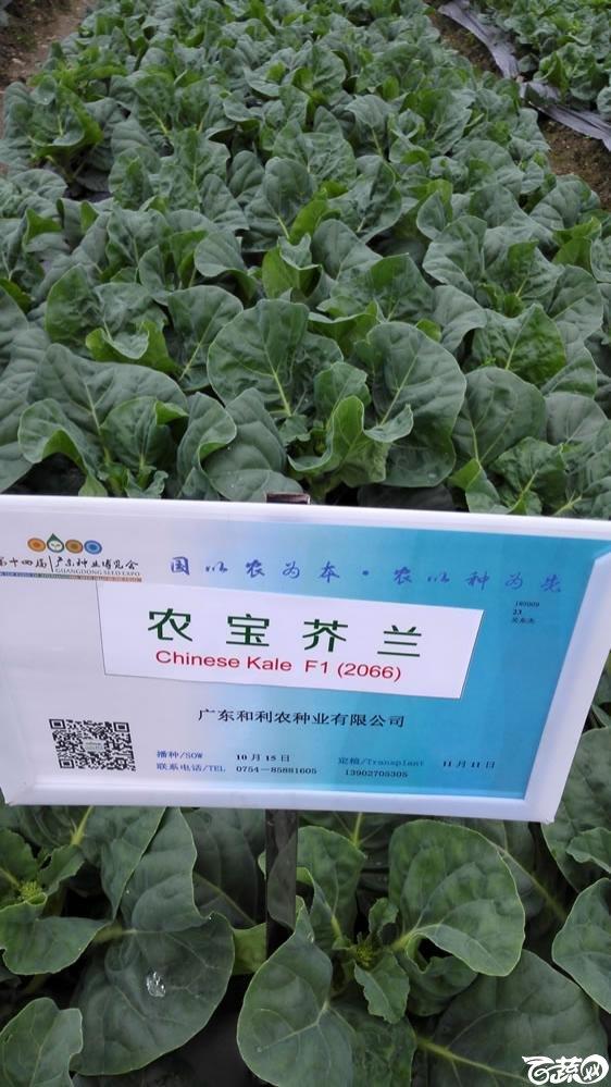 2015年双12广东种业博览会全国优良蔬菜品种田间表现-广东和利农种业农宝芥兰(蓝)-001.jpg