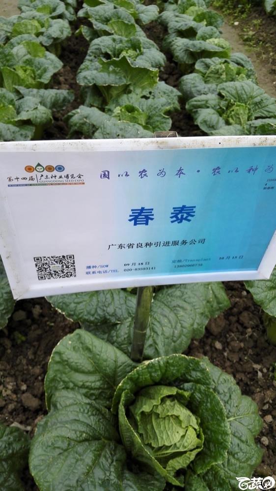 2015年双12广东种业博览会全国优良蔬菜品种田间表现-广东省良种引进公司春泰白菜-001.jpg