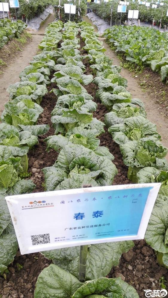 2015年双12广东种业博览会全国优良蔬菜品种田间表现-广东省良种引进公司春泰白菜-007.jpg