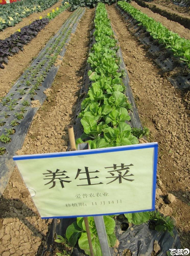 2013年12月27日中山农业技术推广中心蔬菜新品种展示会-新优蔬菜品种田间展示-养生才350.jpg