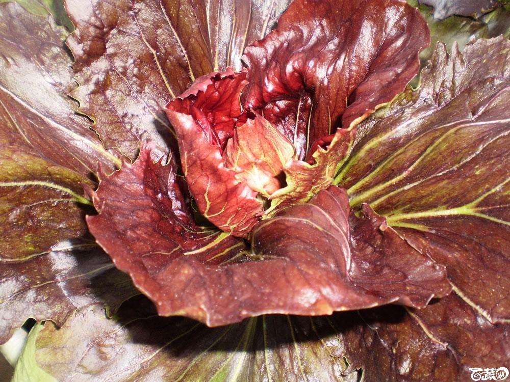 欧洲红苞菜6.jpg
