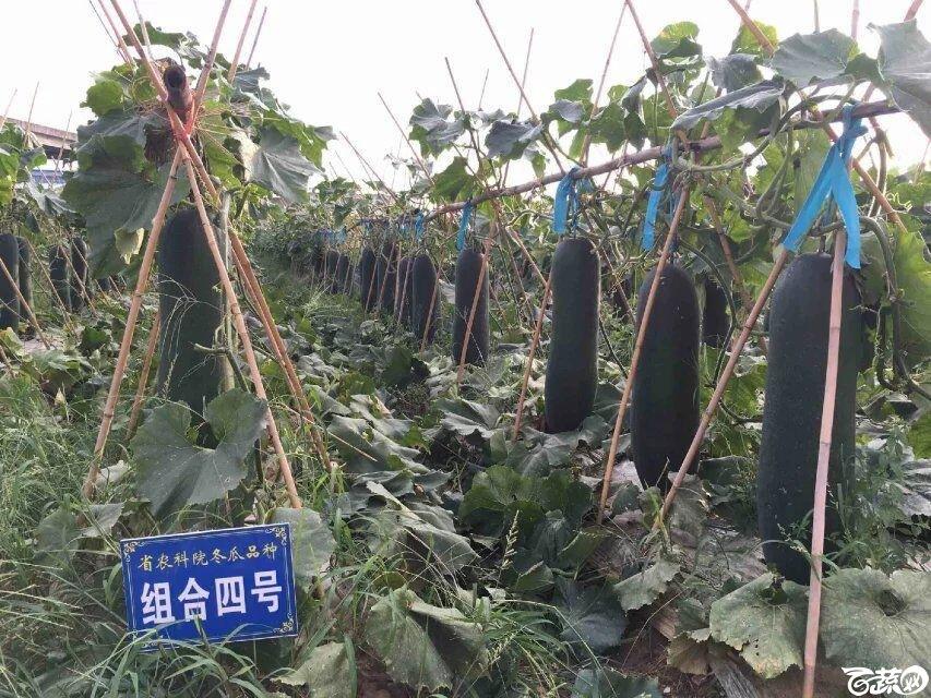 广东农科院蔬菜研究所最新冬瓜组合三水试种.jpg