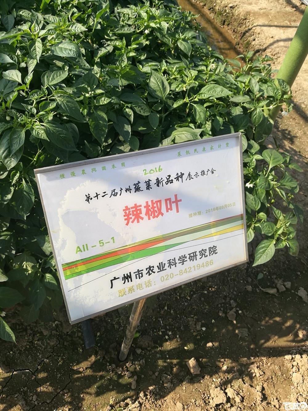 2016年12届广州蔬菜新品种展示会,广州市农科院辣椒叶_001.jpg