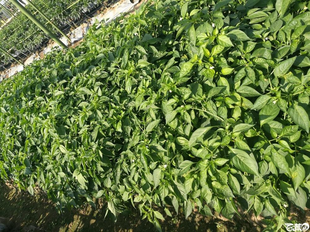 2016年12届广州蔬菜新品种展示会,广州市农科院辣椒叶_004.jpg