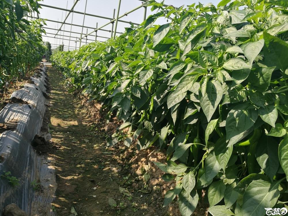 2016年12届广州蔬菜新品种展示会,广州市农科院辣椒叶_012.jpg
