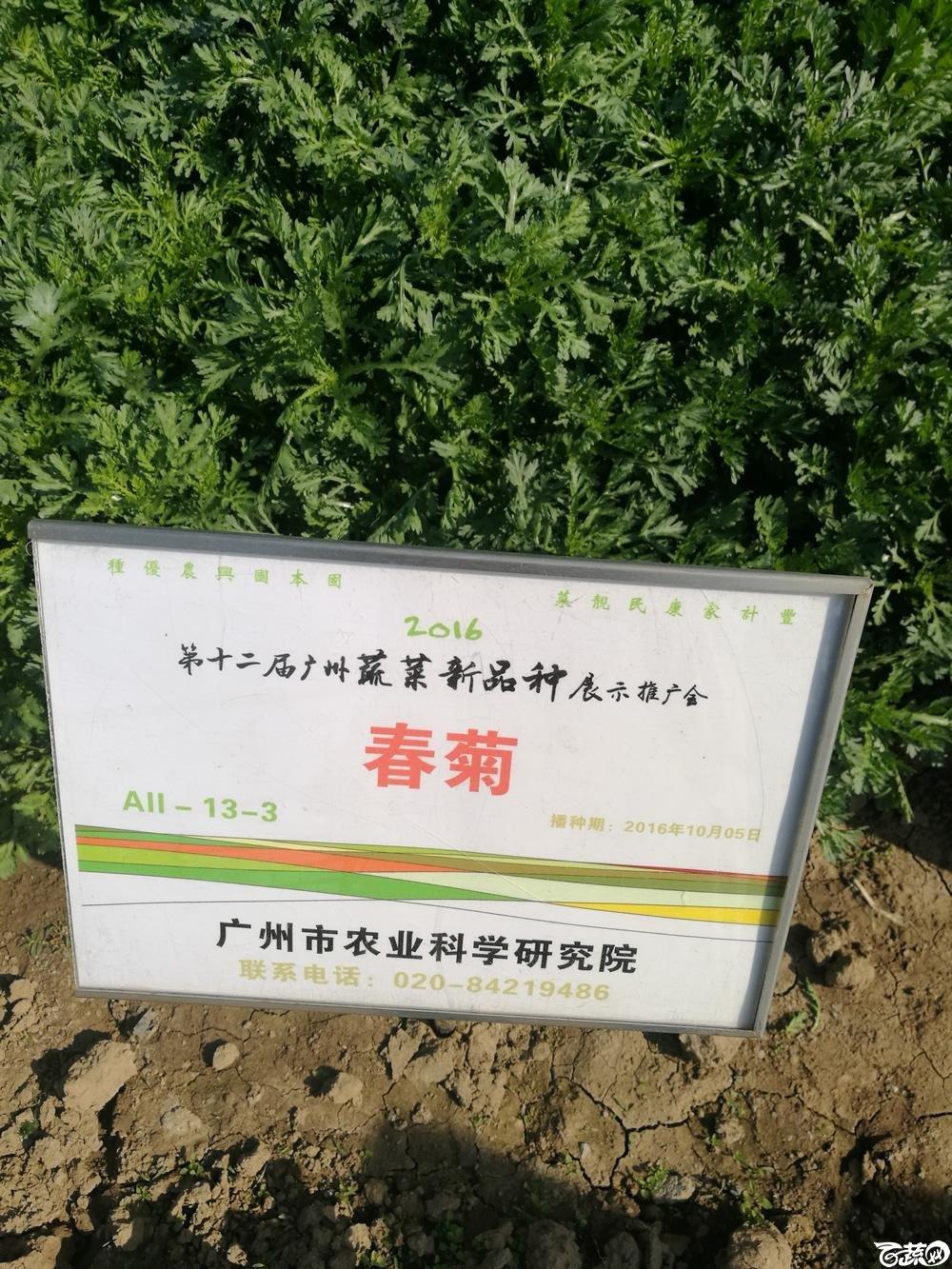 2016年12届广州蔬菜新品种展示会,广州市农科院春菊茼蒿菜_001.jpg