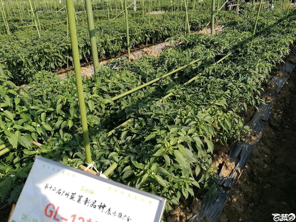 2016年12届广州蔬菜新品种展示会,广东良种引进公司GL-13辣椒-003.jpg