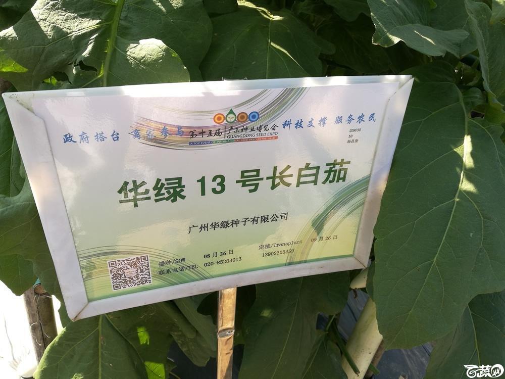 2016年15届广东种博会,广州华绿公司13号长白茄_001.jpg