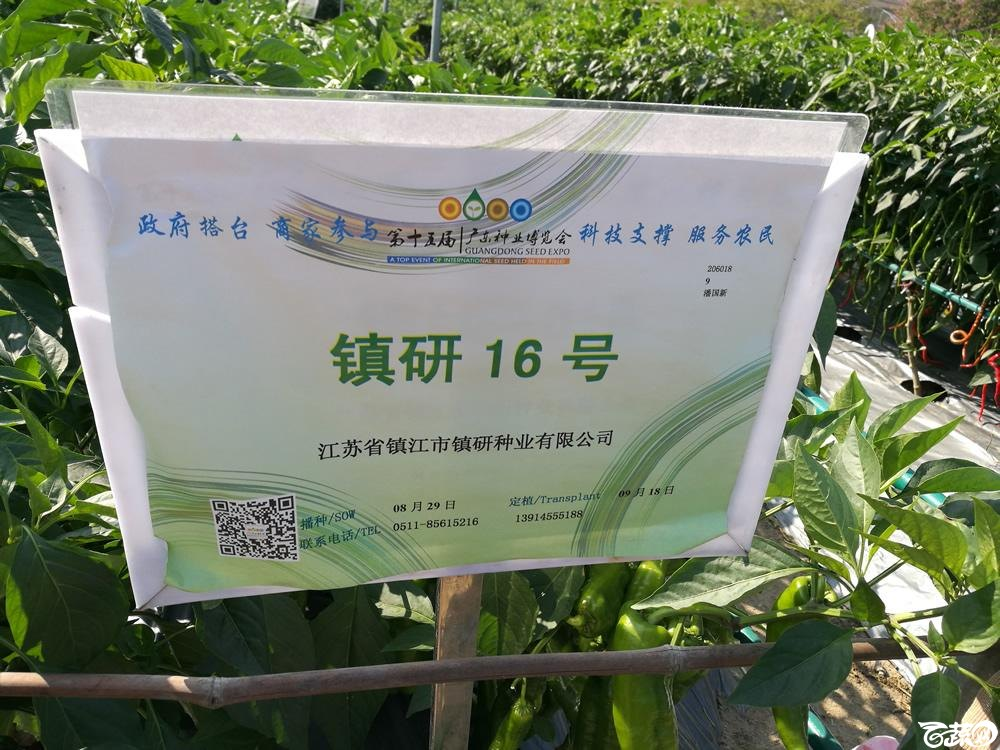 2016年15届广东种博会,江苏镇研种业16号辣椒_001.jpg