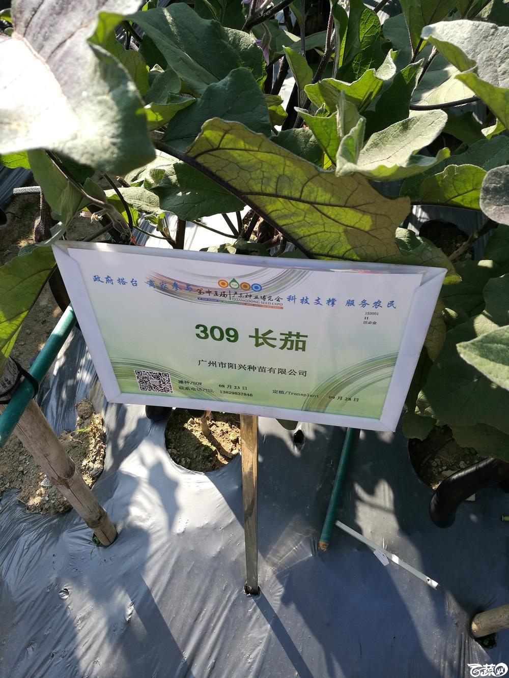 2016年15届广东种博会,广州阳兴种业309紫红长茄_001.jpg