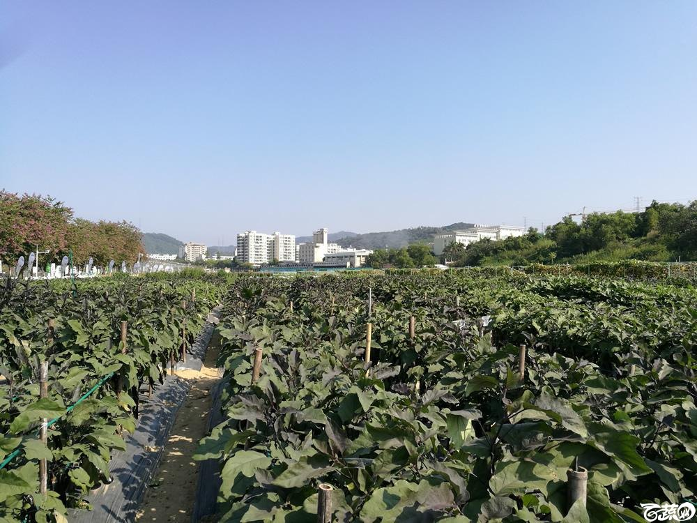 2016年15届广东种博会,广州阳兴种业309紫红长茄_007.jpg