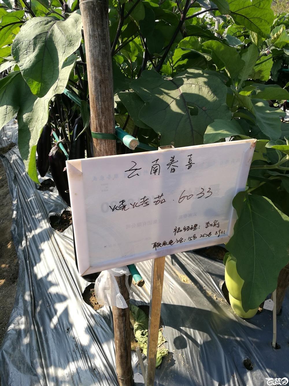 2016年15届广东种博会,云南春喜农业公司烧烤茄6033_001.jpg