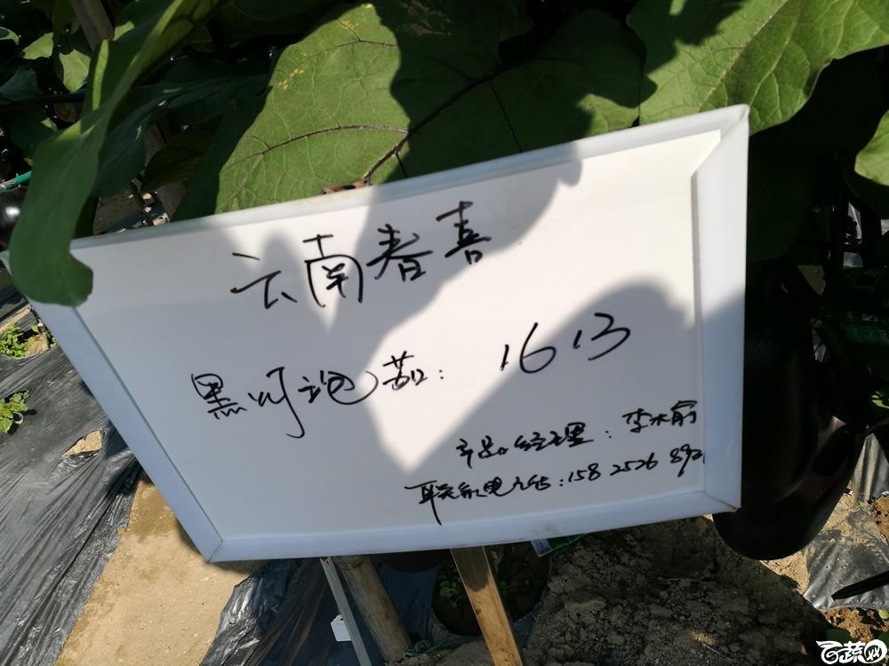 2016年15届广东种博会,云南春喜农业公司黑灯泡茄1613_001.jpg