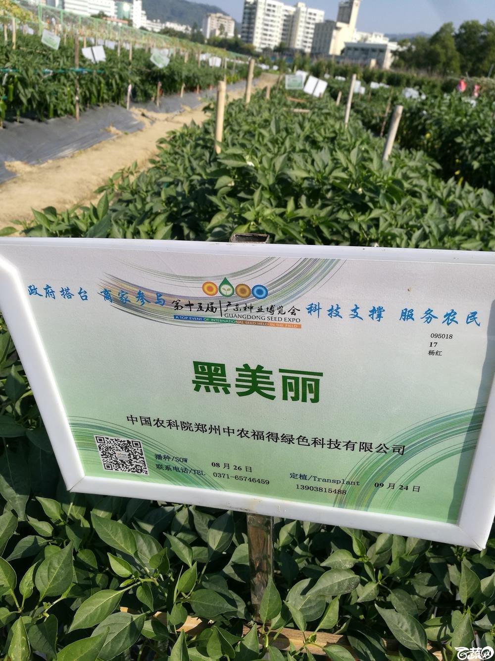 2016年15届广东种博会,郑州中农福得公司黑美丽线椒_001.jpg