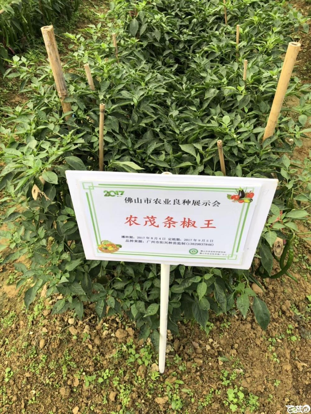 广州阳兴农茂金条线椒在2017年佛山种业博览会的种植表现.jpg