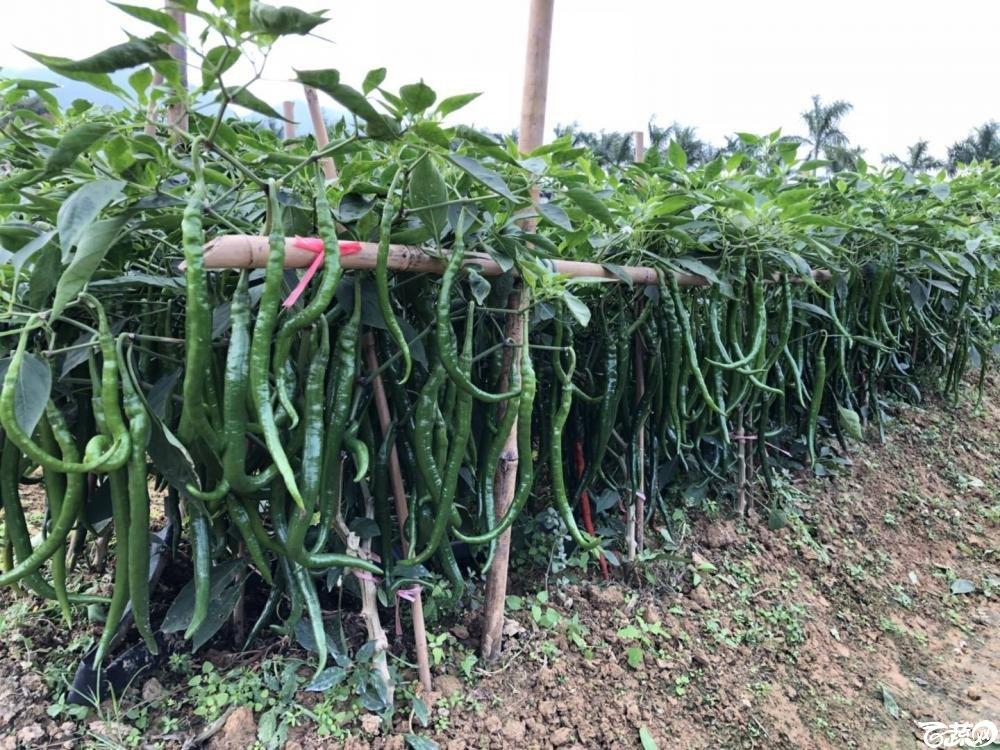 广州阳兴农茂金条线椒在2017年佛山种业博览会的种植表现2.jpg