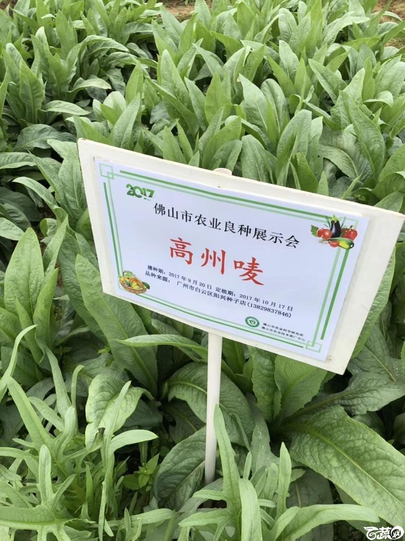 广州阳兴甜麦菜在2017年佛山种业博览会的种植表现_003.jpg