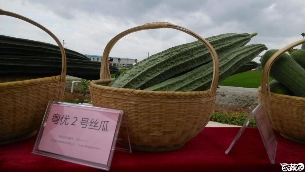 广东省农科院蔬菜研究所粤优二号丝瓜_001.jpg
