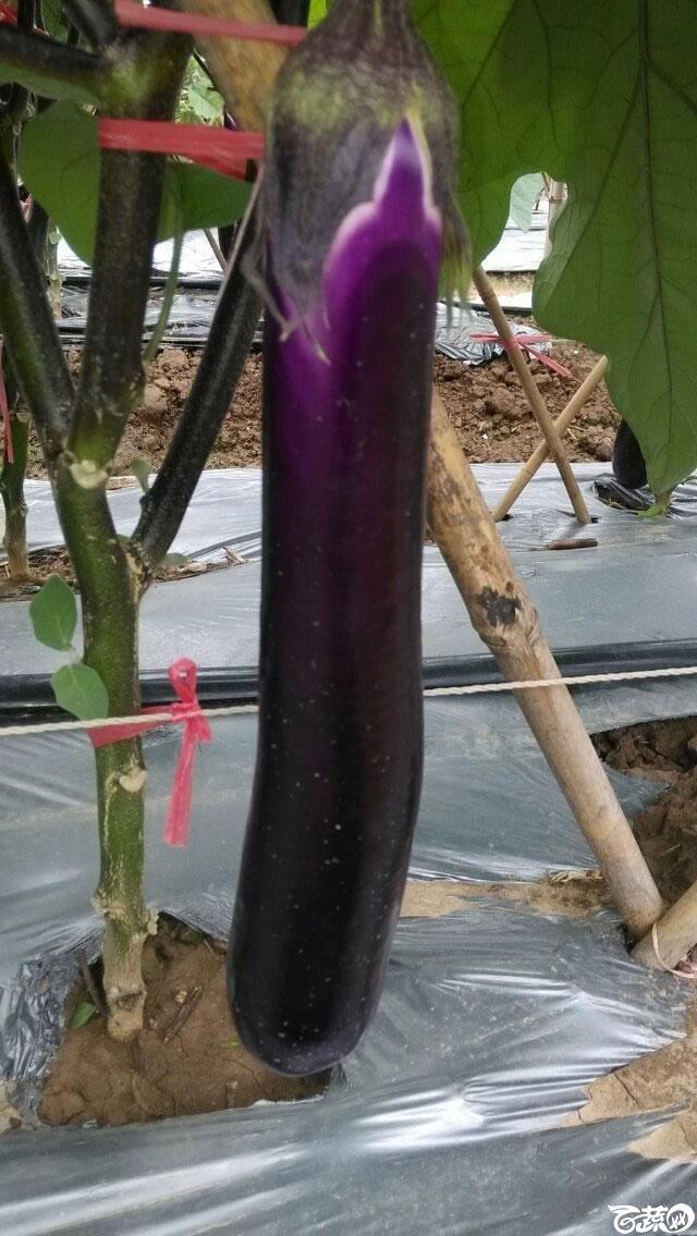 广东农科院蔬菜研究所农丰三号红茄_008.jpg