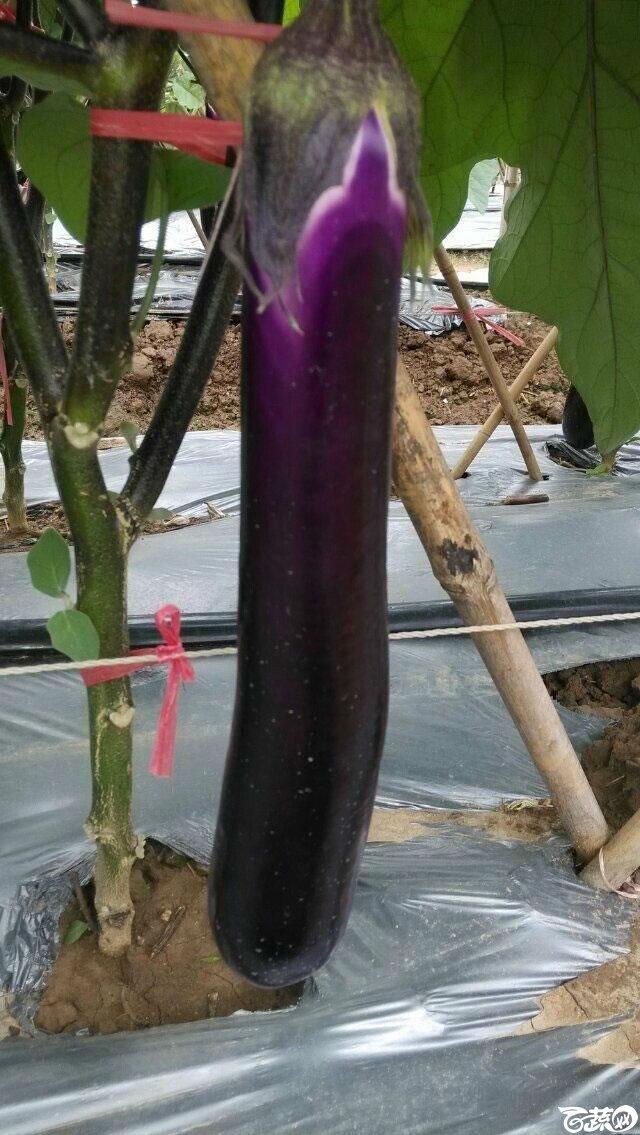 广东农科院蔬菜研究所农丰三号红茄_012.jpg