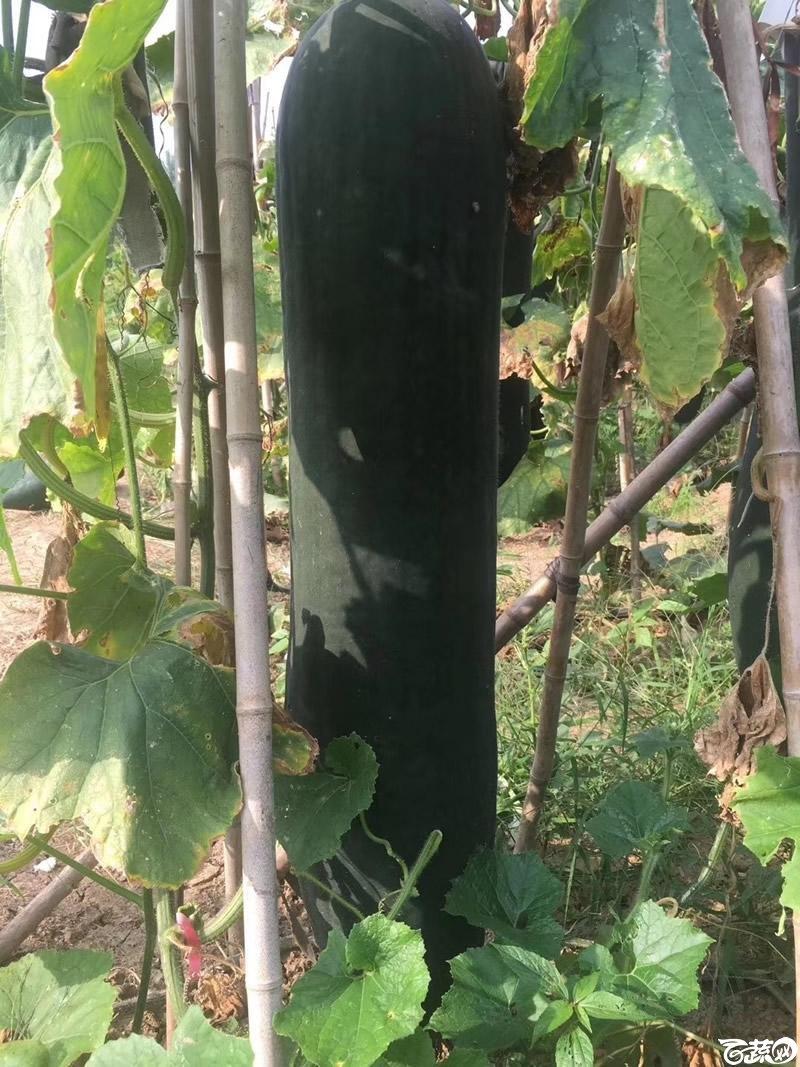 铁柱2号冬瓜在河南表现相当优异5.jpg