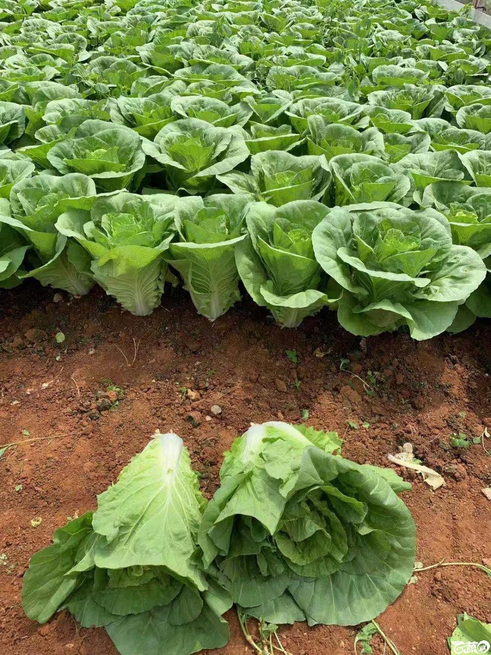 农友高品质杂交快菜3,200元每斤,热线电话15817063731.jpg