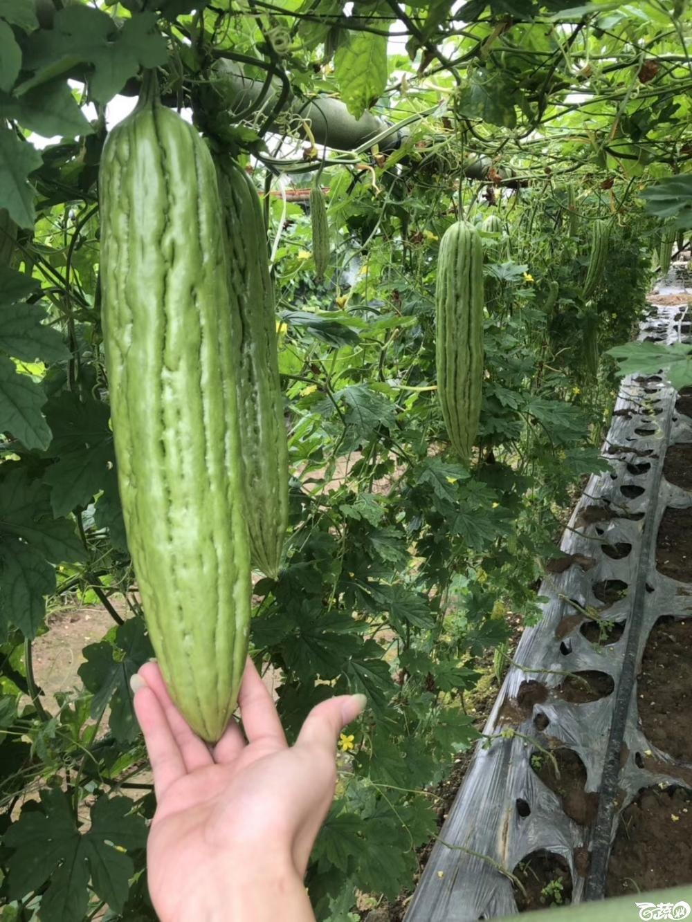 第十七届广州市蔬菜新品种展示推广会,揭阳农友种子公司经典3号苦瓜 002.JPG