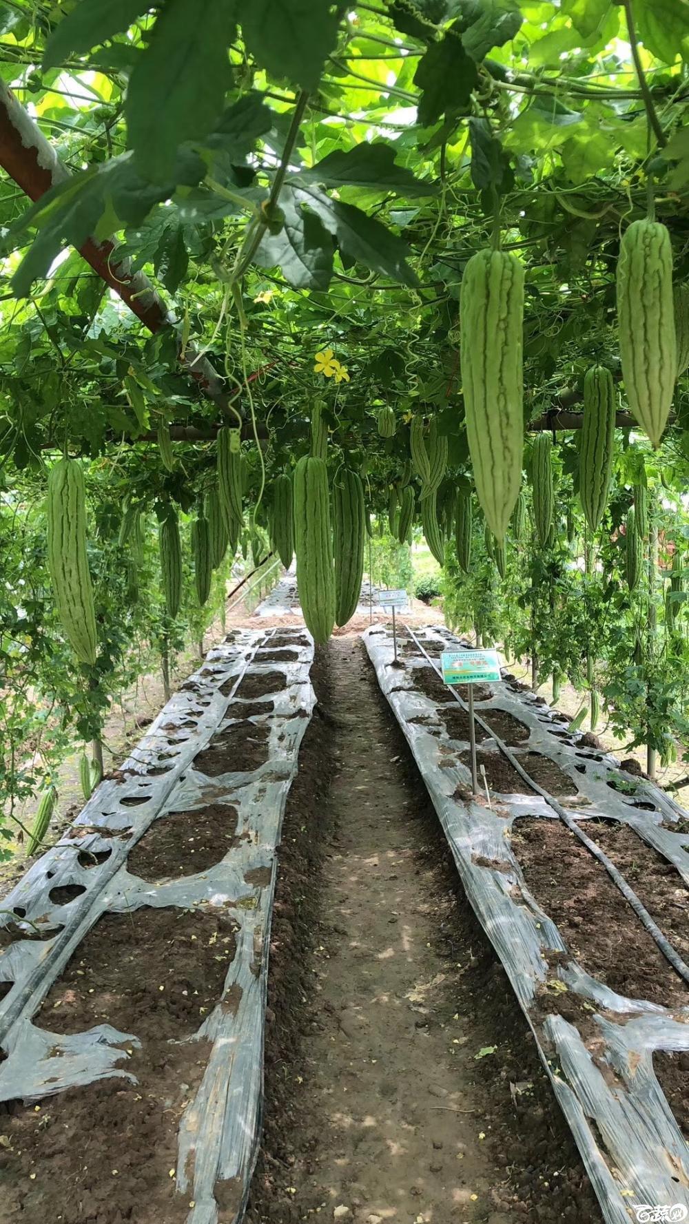 第十七届广州市蔬菜新品种展示推广会,揭阳农友种子公司经典3号苦瓜 005.JPG