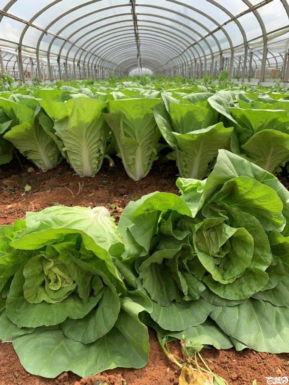 农友高品质杂交快菜4,200元每斤,热线电话15817063731.jpg