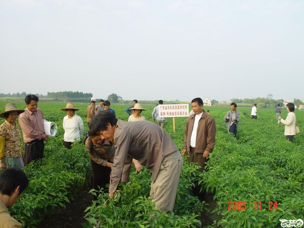 广东省农科院蔬菜研究所福康5号辣椒2004年和2005年在湛江遂溪召开现场展示会_004.jpg
