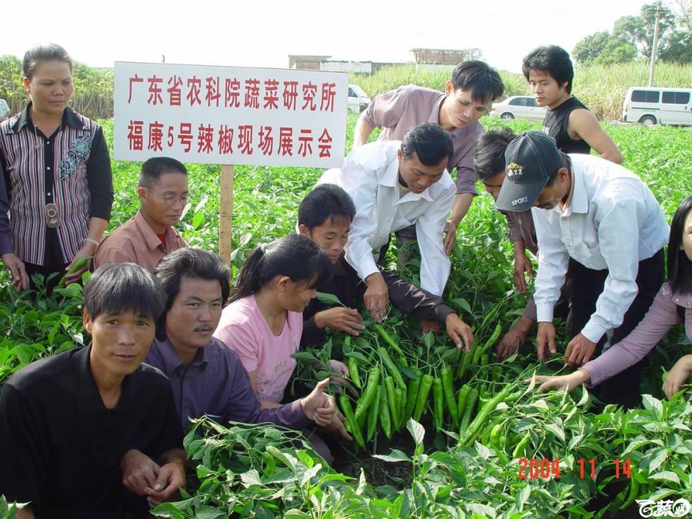 广东省农科院蔬菜研究所福康5号辣椒2004年和2005年在湛江遂溪召开现场展示会_017.jpg
