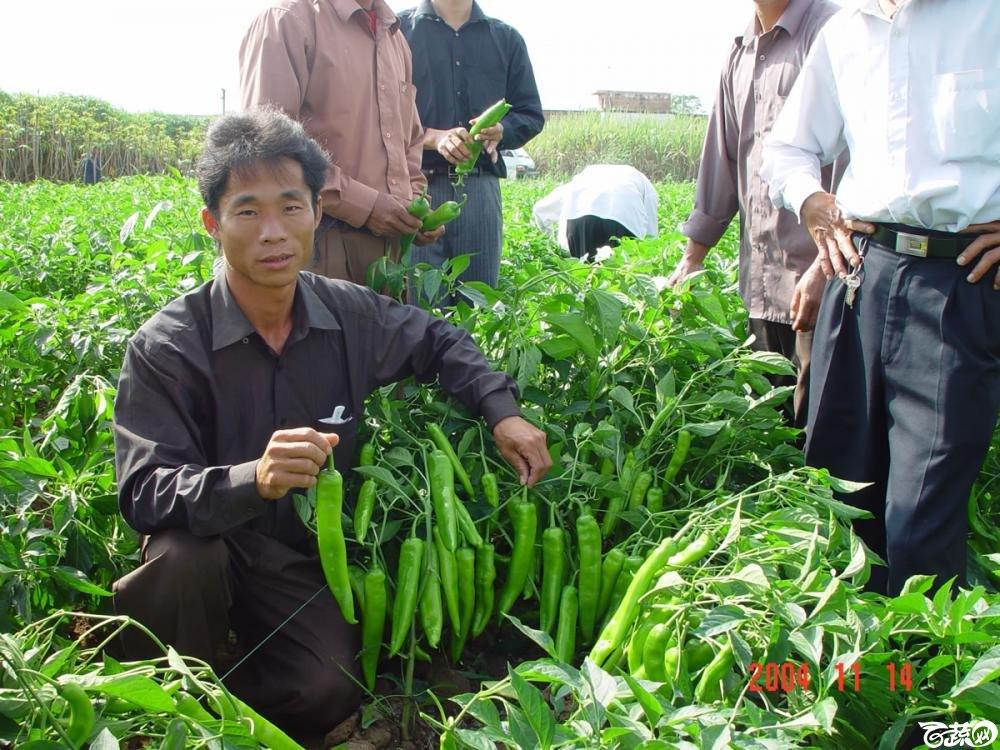 广东省农科院蔬菜研究所福康5号辣椒2004年和2005年在湛江遂溪召开现场展示会_022.jpg