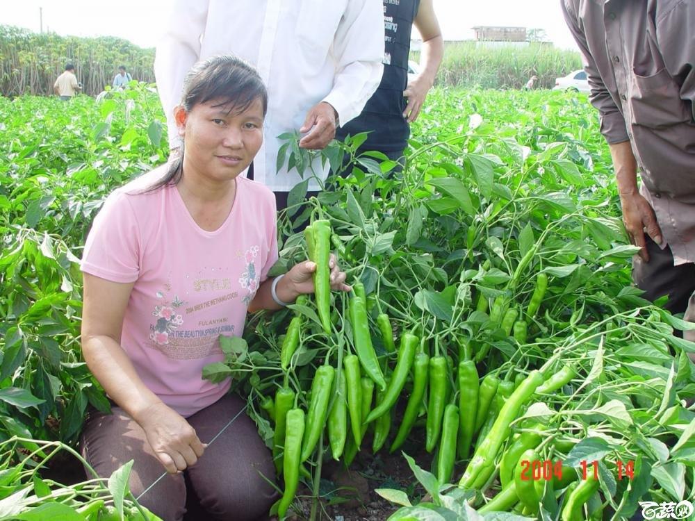 广东省农科院蔬菜研究所福康5号辣椒2004年和2005年在湛江遂溪召开现场展示会_029.jpg