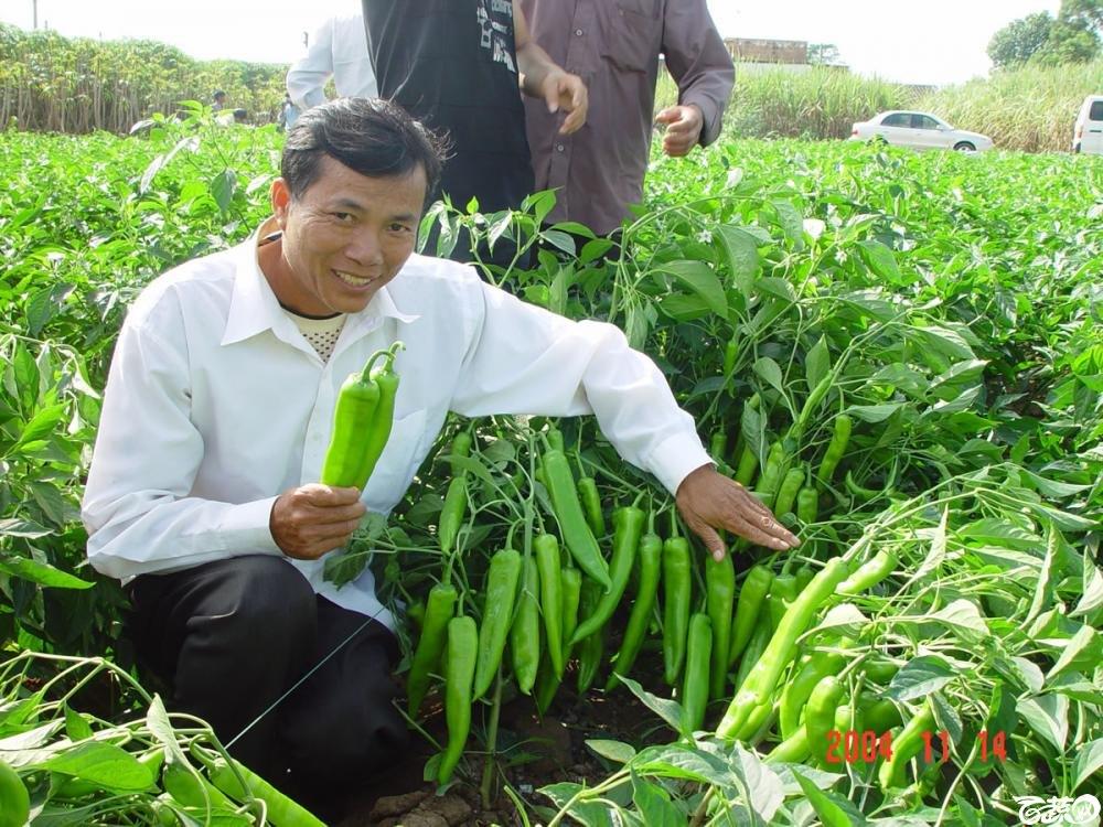 广东省农科院蔬菜研究所福康5号辣椒2004年和2005年在湛江遂溪召开现场展示会_033.jpg