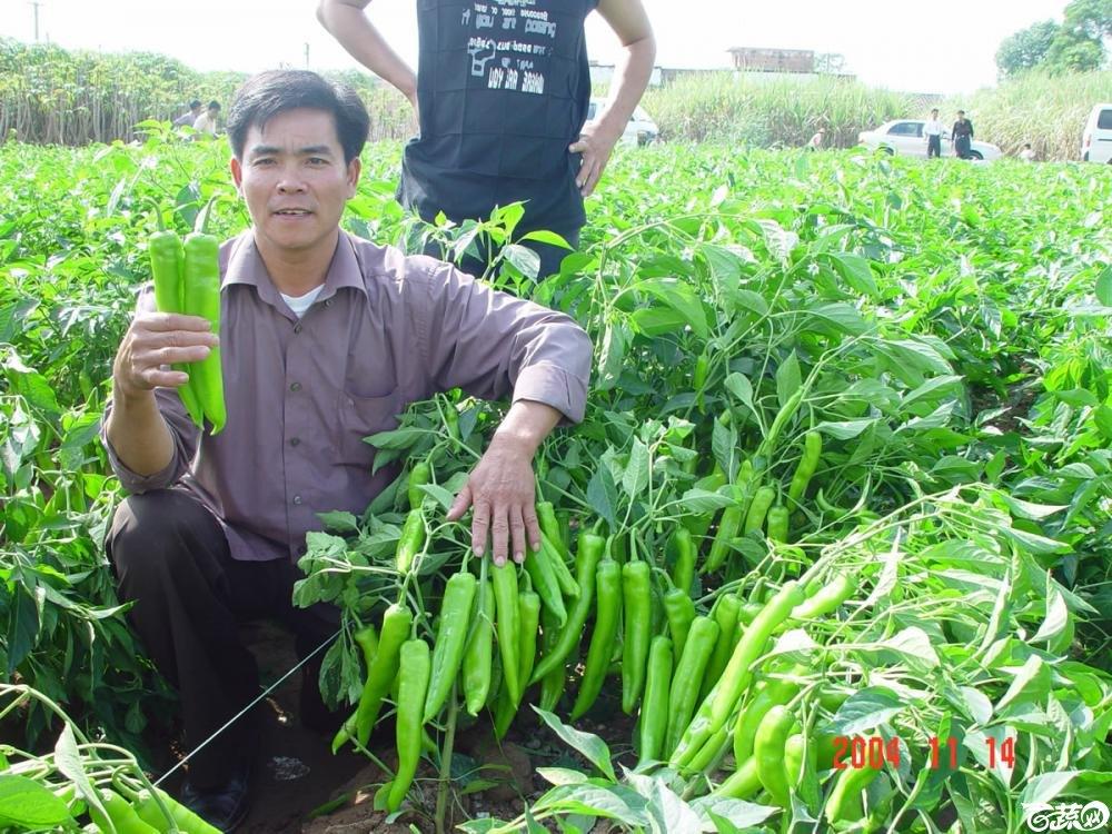 广东省农科院蔬菜研究所福康5号辣椒2004年和2005年在湛江遂溪召开现场展示会_036.jpg
