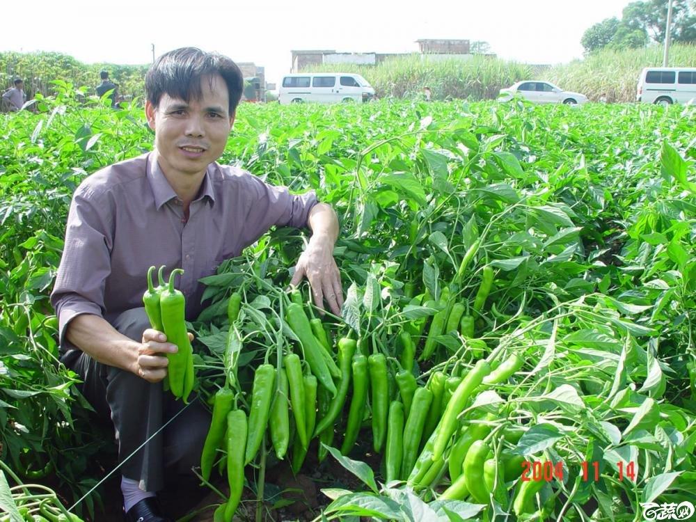 广东省农科院蔬菜研究所福康5号辣椒2004年和2005年在湛江遂溪召开现场展示会_040.jpg