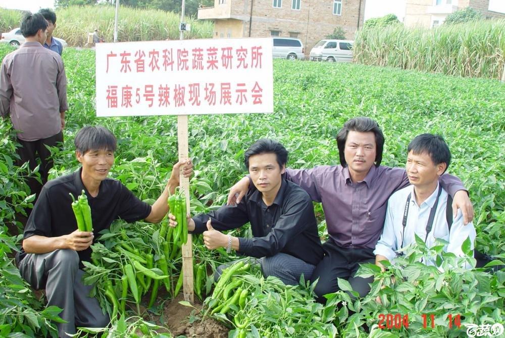广东省农科院蔬菜研究所福康5号辣椒2004年和2005年在湛江遂溪召开现场展示会_046.jpg